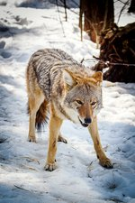 Male coyote in snow