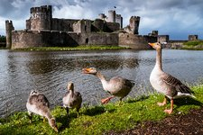 Greylag geese and Caerphilly Castle