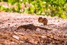 Indian palm squirrels foraging