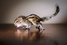 Baby Indian palm squirrel