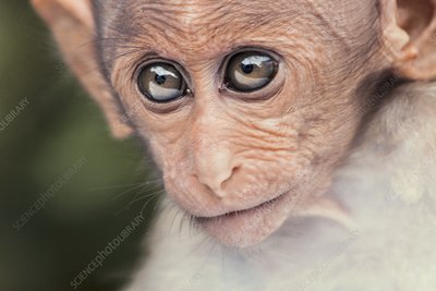 Young bonnet macaque