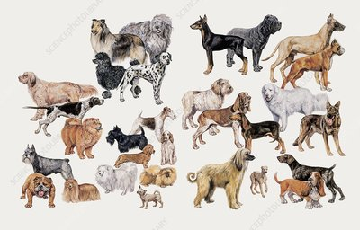 Different breeds of dogs, illustration