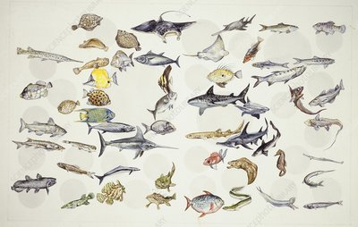 Fish, 27 orders, illustration