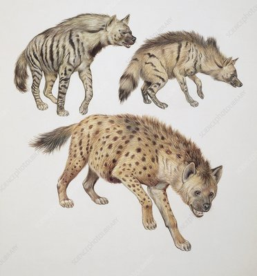 Three hyena dogs, illustration