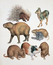 Rodents, illustration