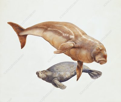 Sea cow and a dugong, illustration