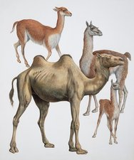 Artiodactyla camel family, illustration