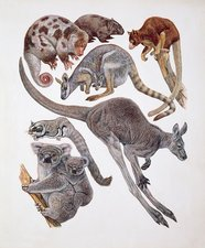 Marsupialia mammals, illustration