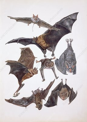 Animals of the bat family, illustration