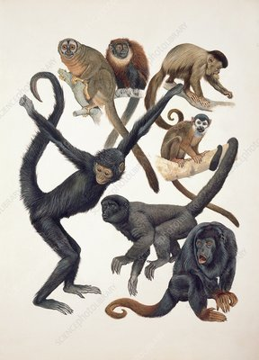 Primates, illustration