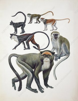 Old World monkeys, illustration