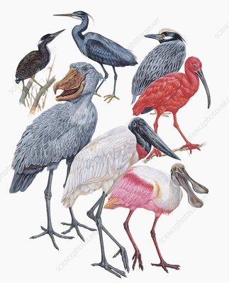 Ciconiiformes birds, illustration