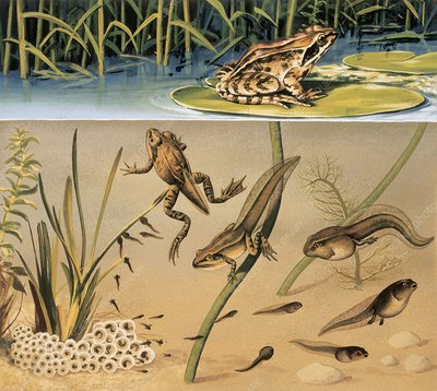 Lifecycle of a frog, illustration