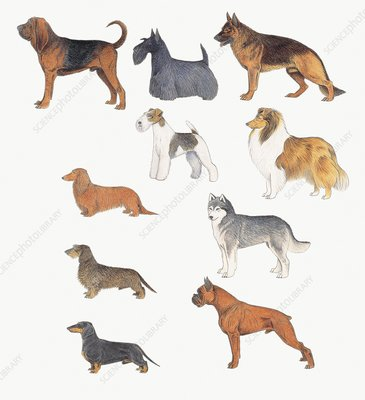 Dogs of various breeds, illustration