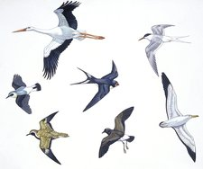 Birds, illustration