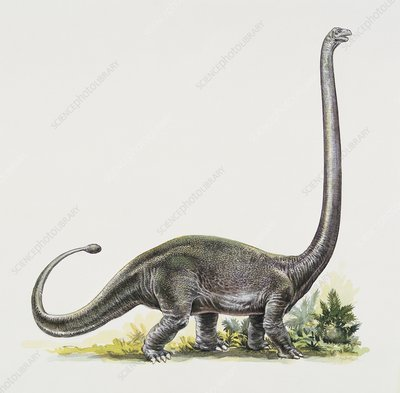 Omeisaurus, illustration