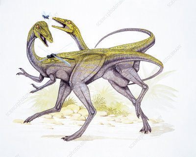 Two Compsognathus longipes, illustration