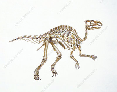 Illustration of skeleton of Hadrosaurus
