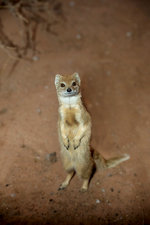 Yellow Mongoose in Bipedal Stance