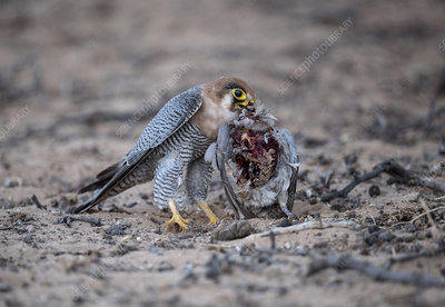 Red-necked Falcon feeding on a dove