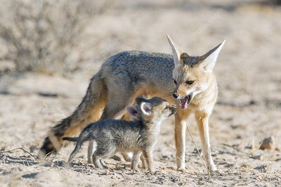Cape Fox with her pups