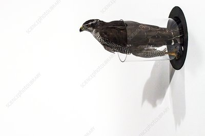 Northern goshawk flying through a tube