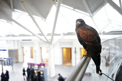 Harris's hawk, King's Cross station, UK