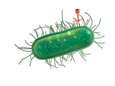 Bacterial defence against phage
