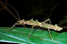 Spiny stick insect