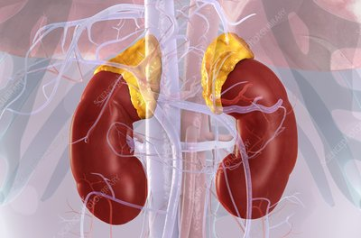 Kidneys and adrenal glands, illustration