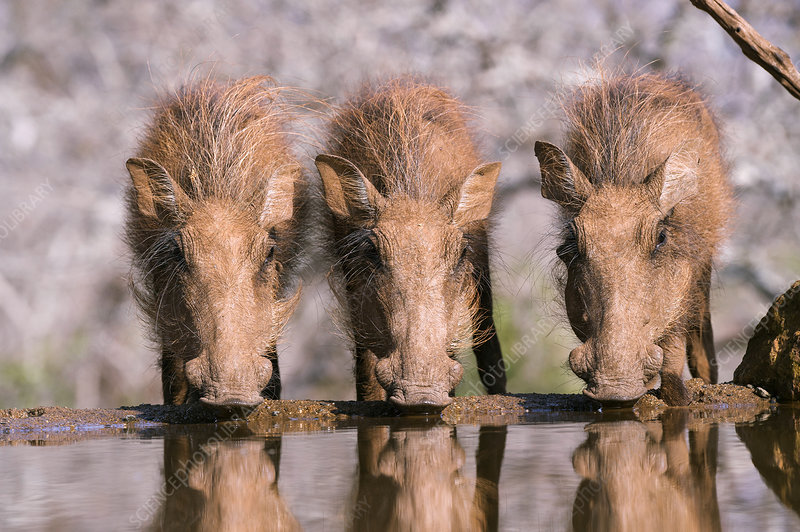 Young warthogs drinking