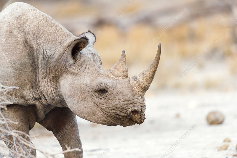 Black rhinoceros
