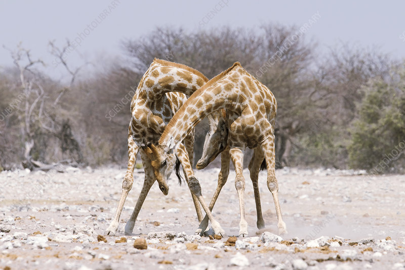 Male giraffe fighting
