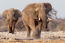 Male African elephants