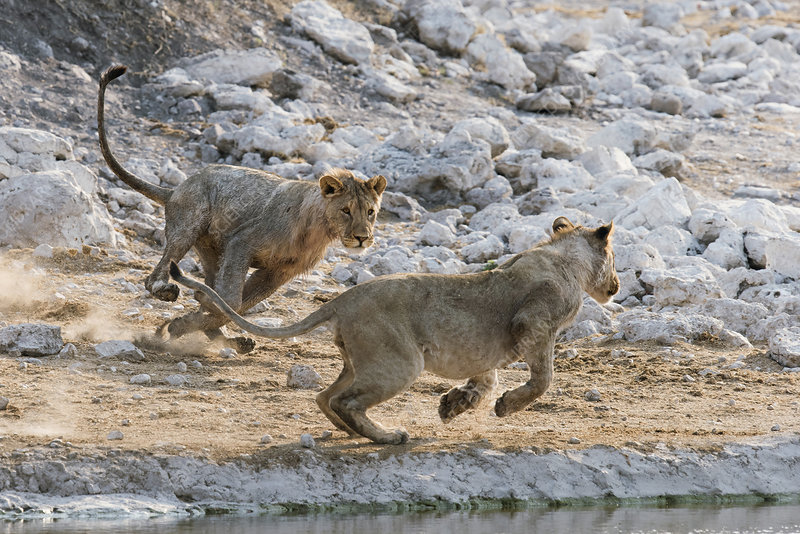 Young lions playing