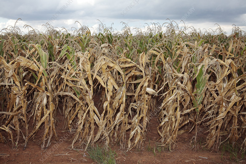 Maize crop during drought, South Africa