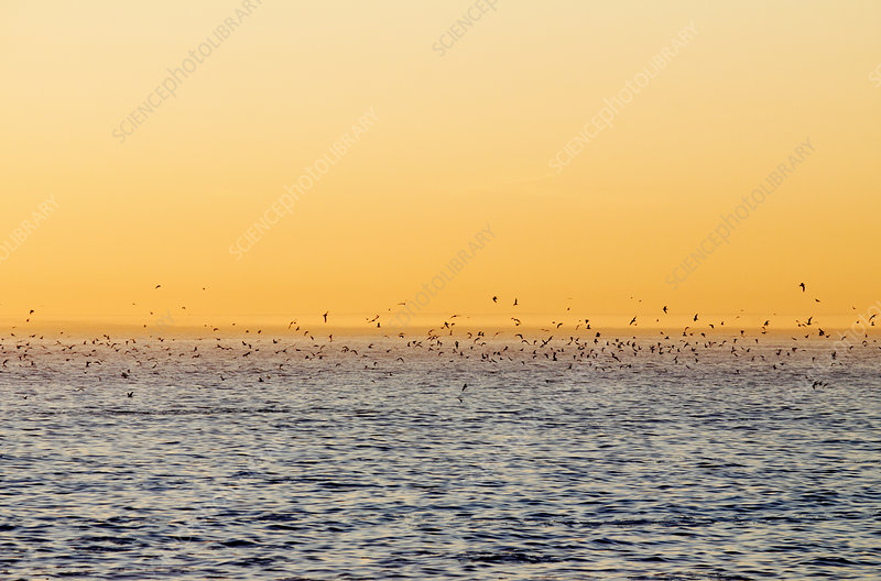Greater crested terns at sunset