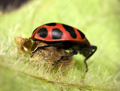 Ladybird and parasitic wasp cocoon