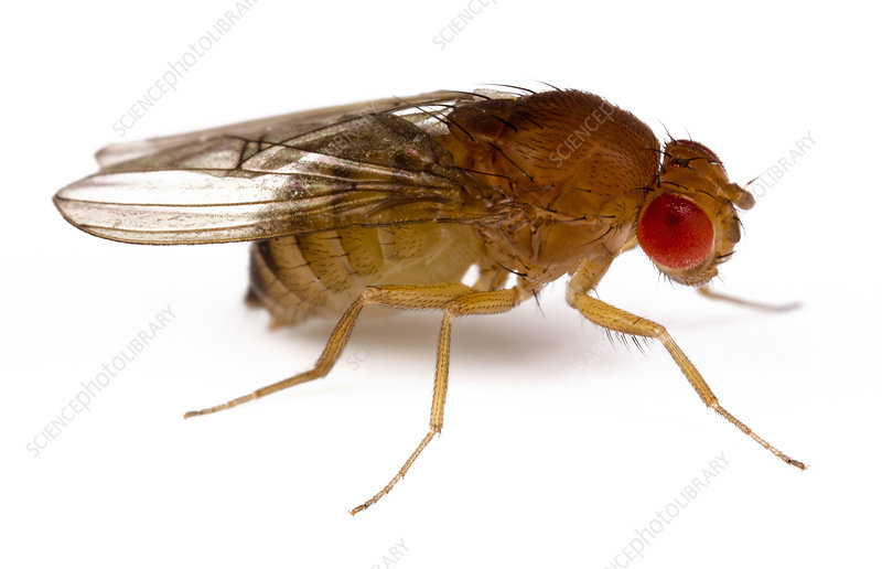 Drosophila fruit fly