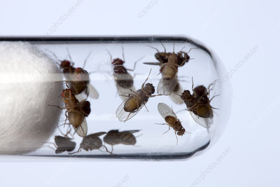 Drosophila fruit flies in a test tube