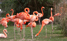 American flamingoes feeding
