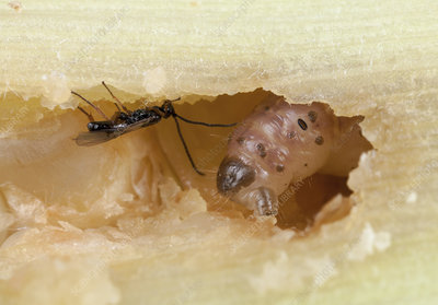 Stem borer and parasitic wasp