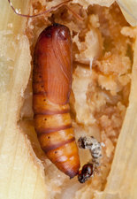 Parasitic wasp laying eggs in stem borer