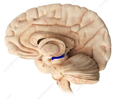 Hippocampus in the brain, illustration