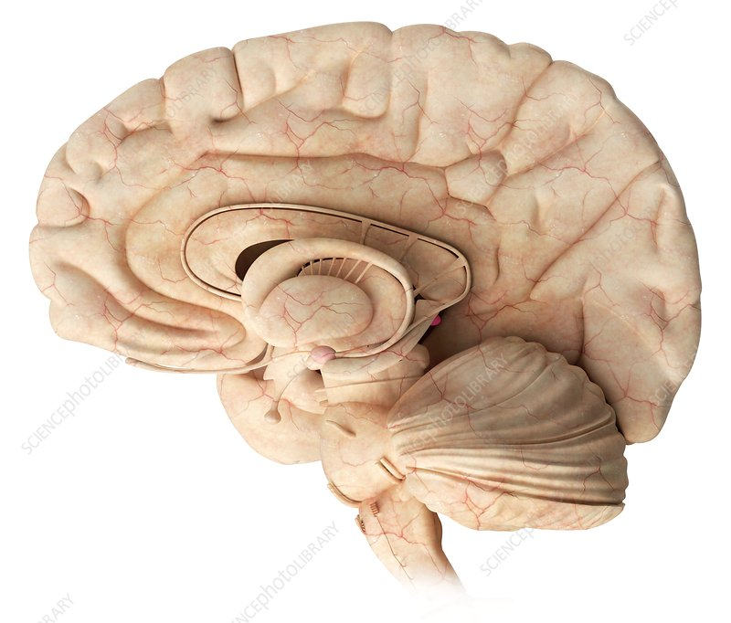 Pineal gland in the brain, illustration - Stock Image - C029