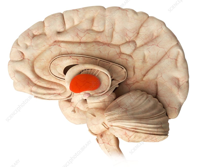Thalamus in the brain, illustration