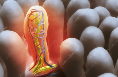 Intestinal villi, illustration
