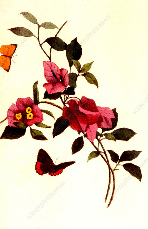 Bougainvillea spectabilis, illustration