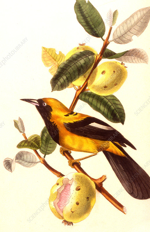 Jamaica bird, 19th Century illustration