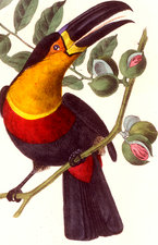 Channel-billed toucan, illustration